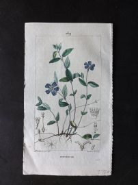 Turpin C1815 Antique Botanical Print. Pervenche. Small Periwinkle 269